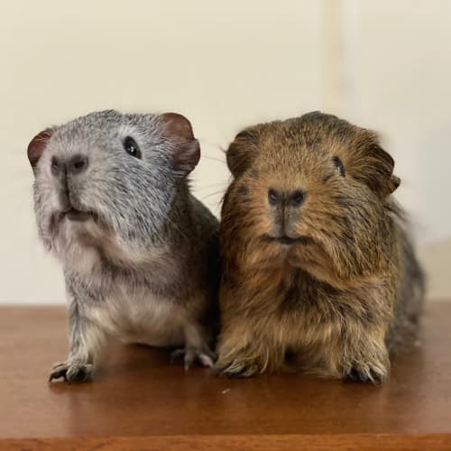 Peanut & Butter  - Sheltie Guinea Pig