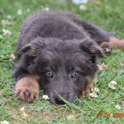Bear - Border Collie x Koolie Dog