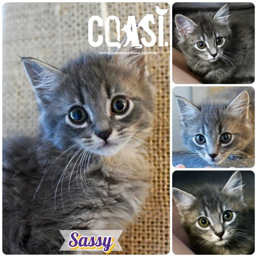 Sassy - Domestic Medium Hair Cat