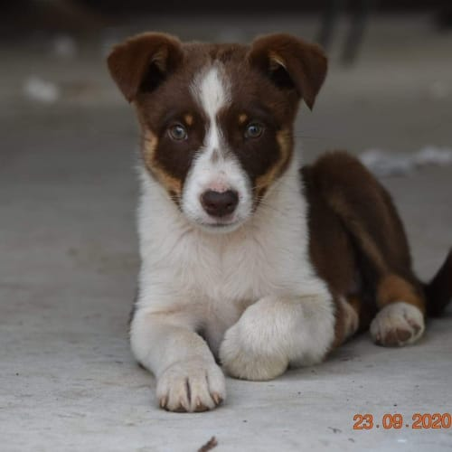 Ranger - Border Collie x Koolie Dog