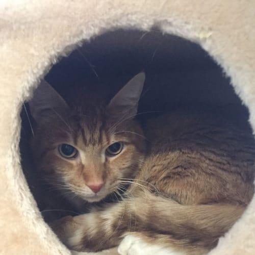 Tugga - Domestic Short Hair Cat