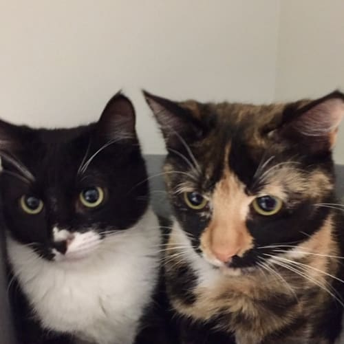 Juju & Elle - Domestic Short Hair Cat