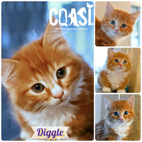 Diggle - Domestic Medium Hair Cat