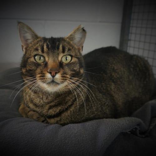 Sergio - Domestic Short Hair Cat