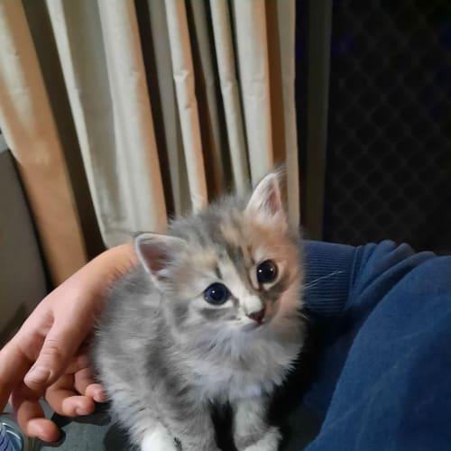 Artic - Ragdoll Cat