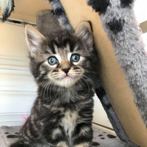 Autumn - Domestic Medium Hair Cat