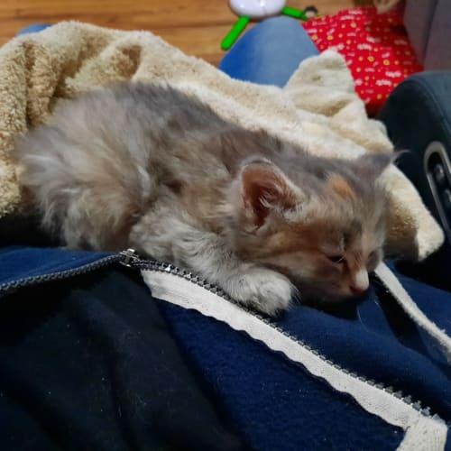 Bliss - Ragdoll Cat