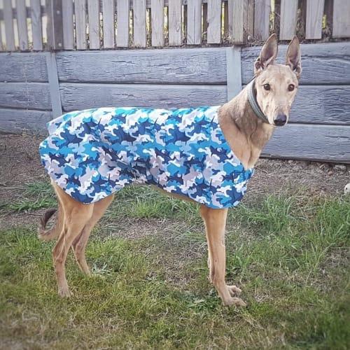 Roy - Greyhound Dog