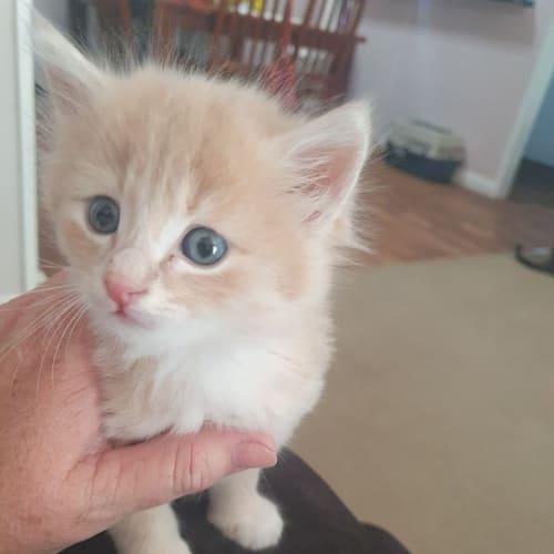 Crisp - Ragdoll Cat