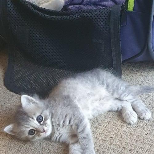 Shiver - Ragdoll Cat
