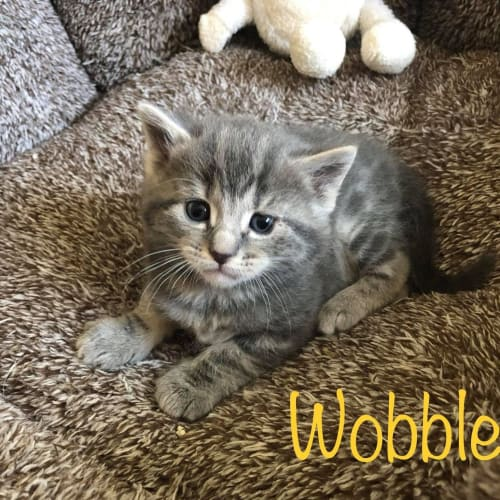 Wobbles - Domestic Medium Hair Cat