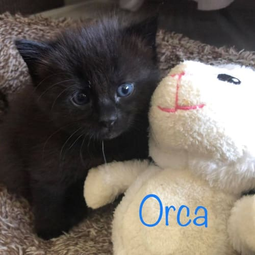 Orca - Domestic Short Hair Cat