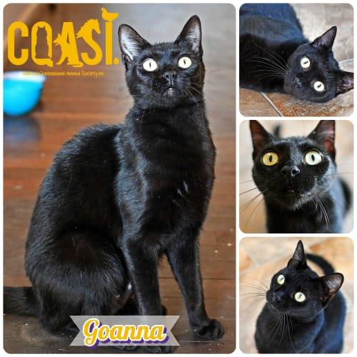 Goanna - Domestic Short Hair Cat