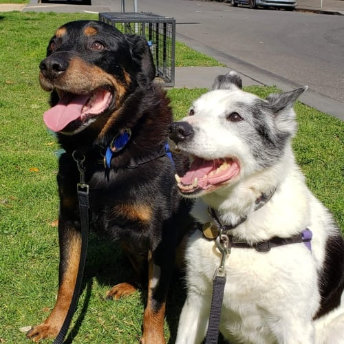 Buddy & Bear - Border Collie x Rottweiler Dog