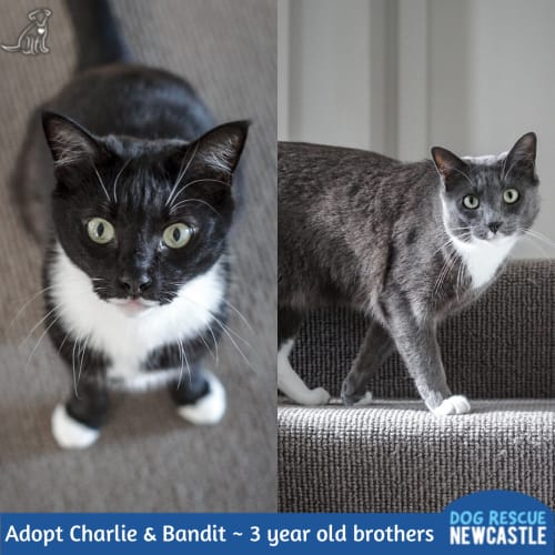 Charlie & Bandit ~ 3 year old brothers - Domestic Short Hair Cat