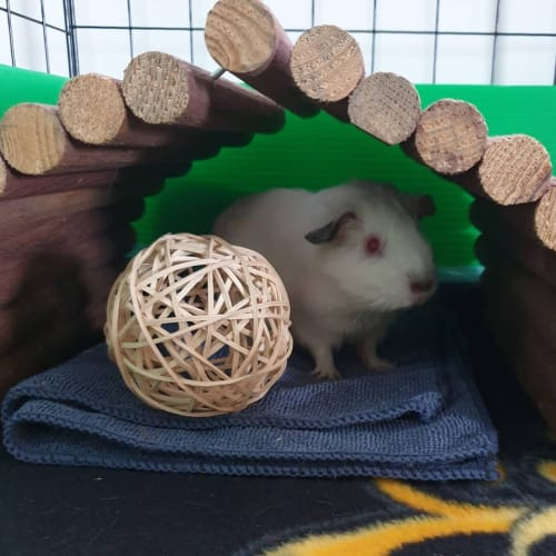 Jade (Buddy of Smiggle and Willow) -  Guinea Pig