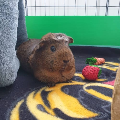 Smiggle (Buddy of Jade and Willow) -  Guinea Pig