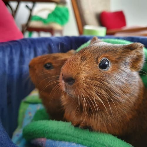 Merry (Brother and Buddy of Pippin) -  Guinea Pig