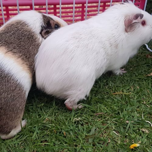 Coco (Buddy of Mitsey) -  Guinea Pig
