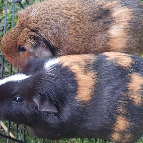 Coco (Buddy of Fudge) -  Guinea Pig