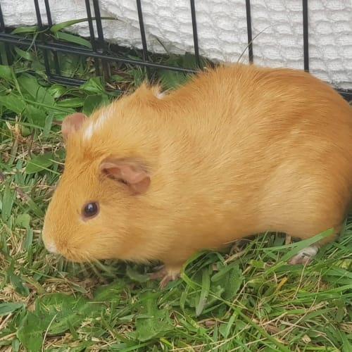 Lily -  Guinea Pig