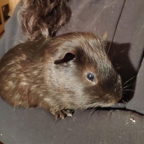 Alvin (Buddy of Archie) -  Guinea Pig