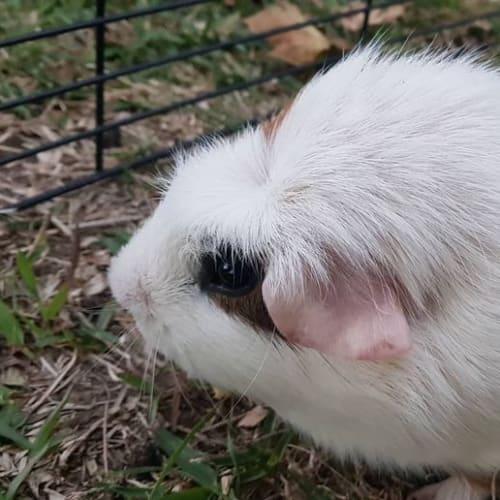 Felix -  Guinea Pig