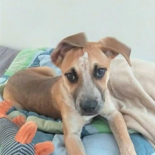 Willow - Rhodesian Ridgeback x Mixed Breed Dog
