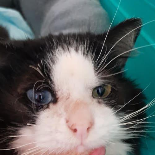 Freckles - Domestic Short Hair Cat