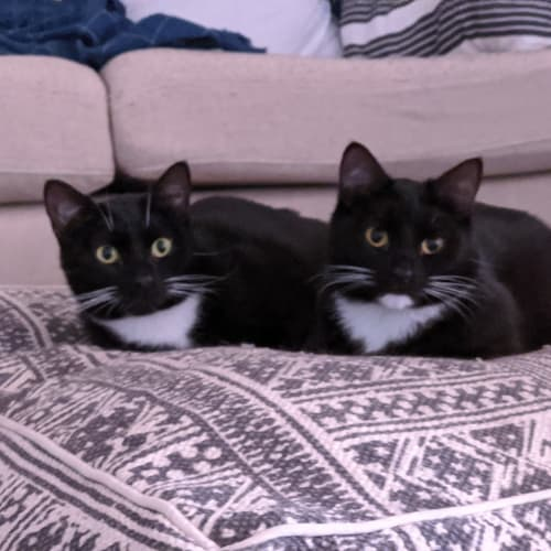 OG Bugsy & CopyCat Malone (Located in St Kilda) - Domestic Short Hair Cat