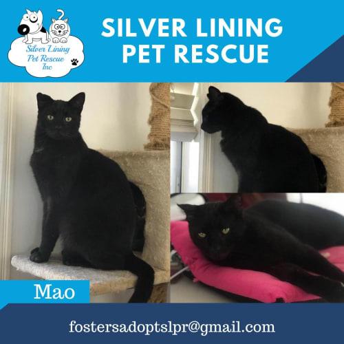 Mao - Domestic Short Hair Cat