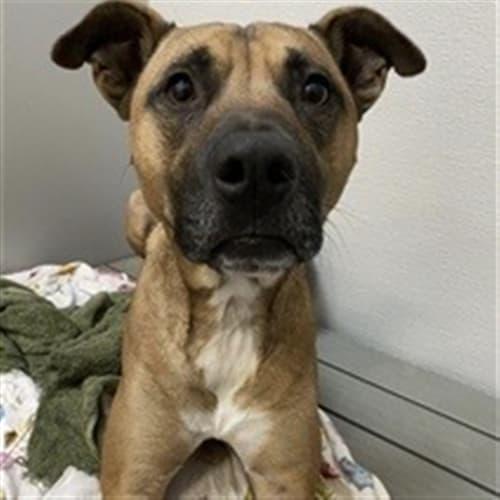 Bruce - American Staffordshire Terrier Dog