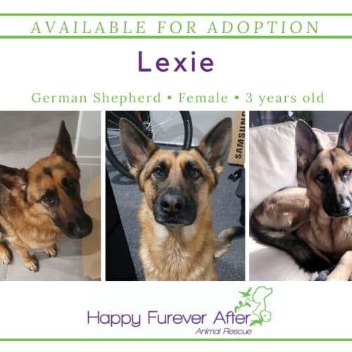 Lexie - German Shepherd Dog