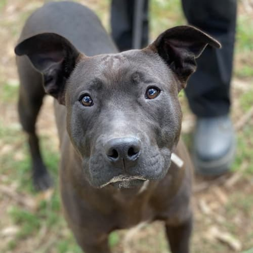 Dudley - American Staffordshire Terrier Dog