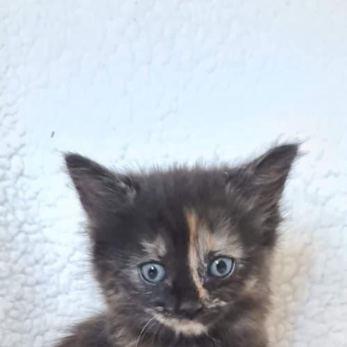 Winter - Domestic Short Hair Cat