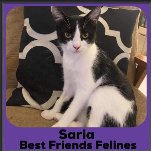 Saria  - Domestic Short Hair Cat