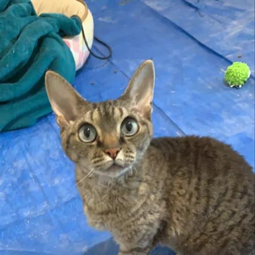 Miss Dotty **2nd Chance Cat Rescue** - Devon Rex Cat