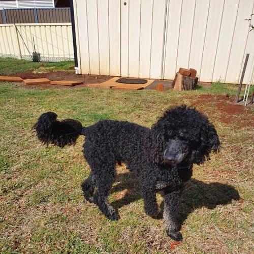Sam - Poodle Dog