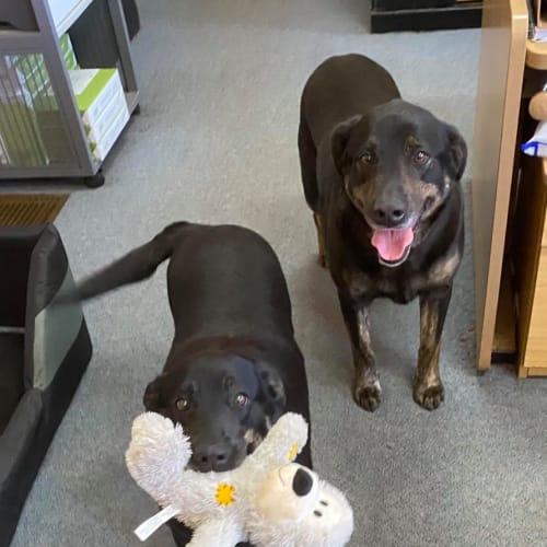 Max & Pixie - Labrador Dog