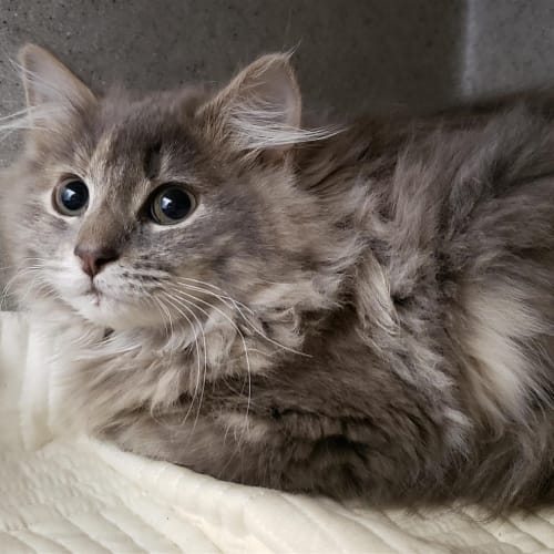 Misty - Domestic Longhair Cat