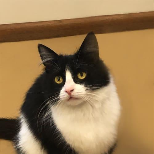 Gabby - Dsh Cat
