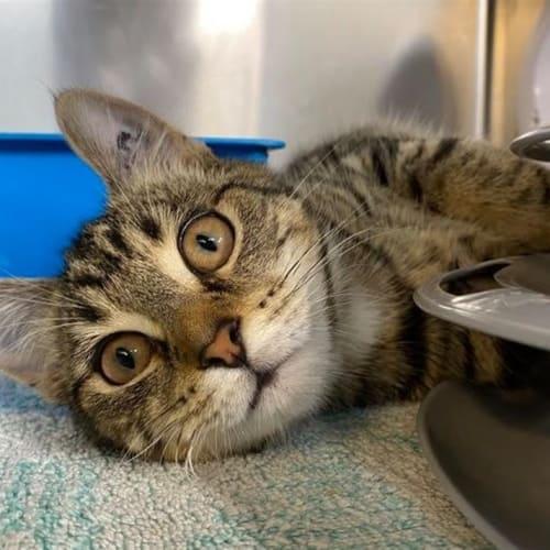 Teacup - Domestic Short Hair Cat