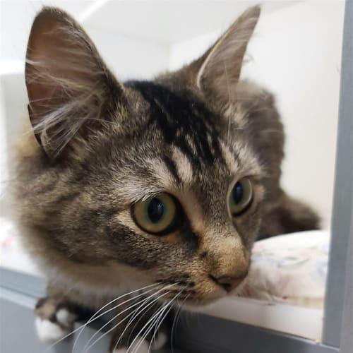 Bella - Domestic Medium Hair Cat
