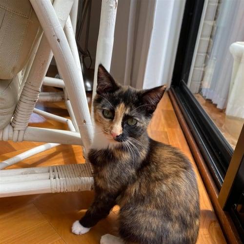 Laura - Domestic Short Hair Cat