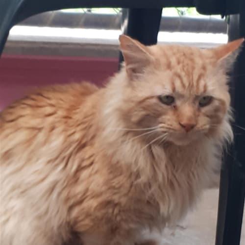 Bruno - Domestic Medium Hair Cat