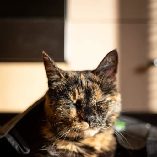 Nalo - Located in North Melbourne - Domestic Short Hair Cat