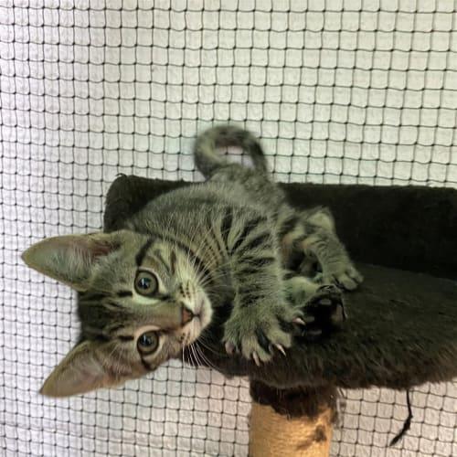 Sass - Domestic Short Hair Cat