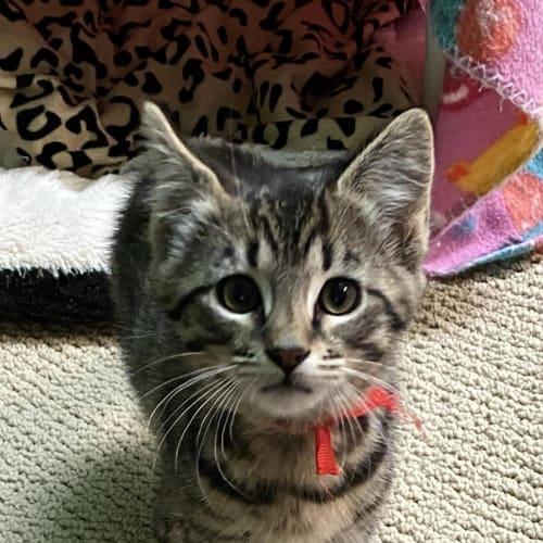 Belle - Domestic Short Hair Cat