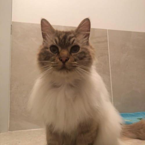 Dobbie - Ragdoll Cat