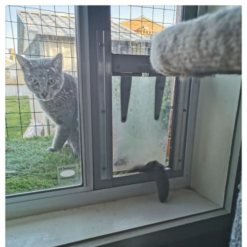Mr Bojangles - Domestic Short Hair Cat